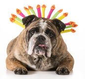 Perro del cumpleaños Imágenes de archivo libres de regalías