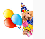 Perro del cumpleaños con los regalos y los globos. Fotos de archivo
