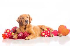Perro del día de tarjeta del día de San Valentín Imagen de archivo libre de regalías