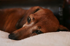 Perro del Dachshund Foto de archivo libre de regalías