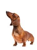 Perro del Dachshund Fotografía de archivo libre de regalías