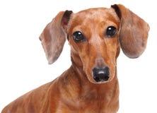 Perro del Dachshund Imagen de archivo libre de regalías