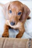 Perro del Dachshund Fotos de archivo libres de regalías
