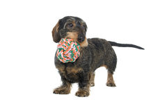 Perro del Dachshund con el juguete imagenes de archivo