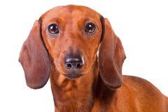 Perro del Dachshund en blanco aislado fotos de archivo