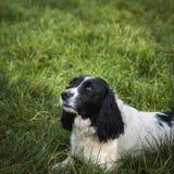 Perro del perro de aguas que miente en hierba Imágenes de archivo libres de regalías