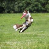 Perro del disco volador con el disco del vuelo en verano Imagenes de archivo