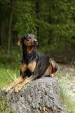 Perro del Doberman Imagenes de archivo