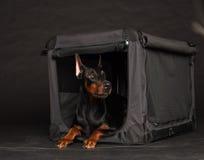 Perro del Doberman cerca por la jaula Imagen de archivo libre de regalías
