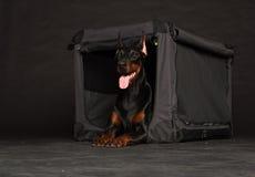 Perro del Doberman cerca por la jaula Foto de archivo