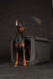 Perro del Doberman cerca por la jaula Imagen de archivo