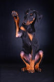 Perro del doberman del bebé Foto de archivo libre de regalías