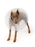 Perro del Doberman que desgasta un cono Imagenes de archivo