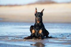 Perro del Doberman que se acuesta en la playa imagenes de archivo