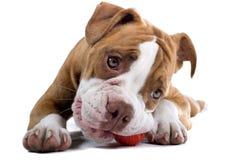 Perro del dogo del renacimiento Foto de archivo libre de regalías
