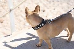 Perro del dogo francés en el correo Imagen de archivo libre de regalías