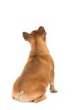 Perro del dogo francés que se sienta visto en su parte posterior que parece para arriba aislada fotos de archivo