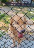 Perro del encierro Fotografía de archivo libre de regalías