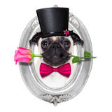 Perro del enfermo del amor de las tarjetas del día de San Valentín Imagenes de archivo