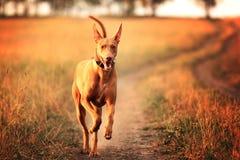 Perro del faraón Foto de archivo libre de regalías