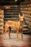Perro del faraón Fotos de archivo