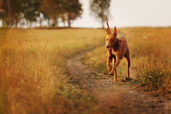 Perro del faraón en campo Fotografía de archivo