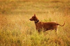 Perro del faraón en perfil Fotografía de archivo