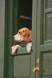 Perro del fisgón Foto de archivo