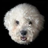 Perro del frise de Bichon Imágenes de archivo libres de regalías