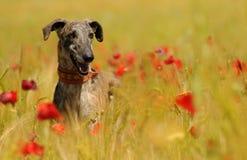Perro del galgo entre las flores en primavera Fotos de archivo