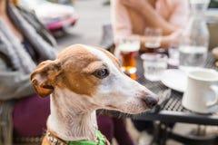 Perro del galgo italiano en el restaurante imagen de archivo libre de regalías