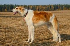 Perro del galgo ruso fotos de archivo