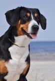 Perro del ganado de Entlebuch en el lado de mar Fotografía de archivo libre de regalías