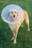 Perro del golden retriever con el cono Foto de archivo libre de regalías