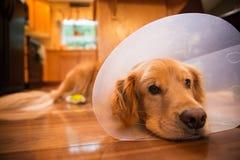 Perro del golden retriever con un cuello del cono después de un viaje al vete Imágenes de archivo libres de regalías