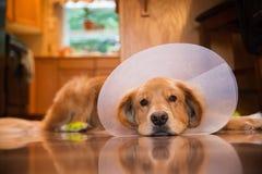 Perro del golden retriever con un cuello del cono después de un viaje al vete Fotos de archivo