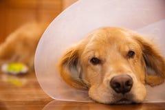 Perro del golden retriever con un cuello del cono después de un viaje al vete Imagen de archivo