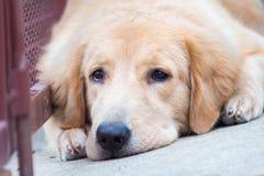 Perro del golden retriever de la cara fotos de archivo libres de regalías