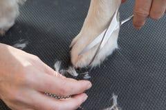 Perro del golden retriever de la preparación en la tabla Foto de archivo
