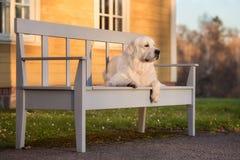 Perro del golden retriever en un banco en la puesta del sol Imagen de archivo
