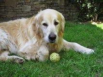 Perro del golden retriever que miente con la pelota de tenis en césped imagenes de archivo