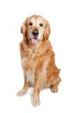 Presentación del perro del golden retriever Fotografía de archivo