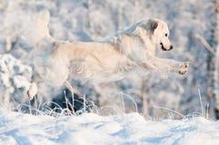 Perro del golden retriever que salta en la nieve Imagen de archivo libre de regalías