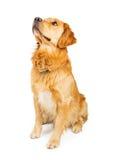 Perro del golden retriever que se sienta en el blanco que mira para arriba Foto de archivo