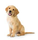 Perro del golden retriever que se sienta en el piso, aislado en el CCB blanco Imagenes de archivo