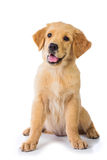 Perro del golden retriever que se sienta en el piso, aislado en el CCB blanco imagen de archivo libre de regalías