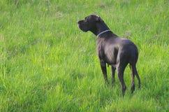Perro del gran danés Imagen de archivo libre de regalías