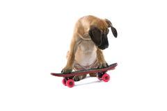 Perro del gran danés en el patín Fotografía de archivo