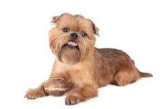 Perro del grifo de la raza Fotos de archivo