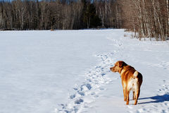 Perro del guarda que examina el campo nevoso Fotos de archivo